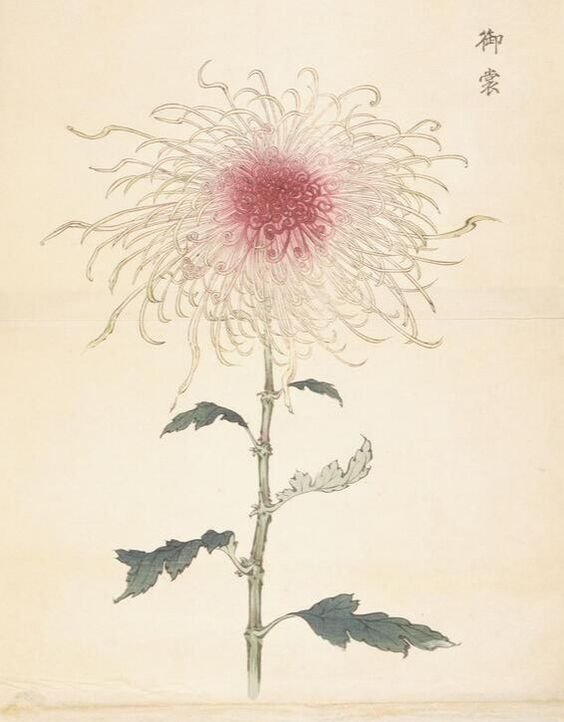 Woodblock print by Keika Hasegawa - part of 'One hundred Chrysanthemums' project || The Three-week golden Flower: Chrysanthemum history, types and care // blogpost by House of Thol